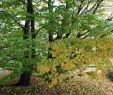 Welcher Baum Passt In Meinen Garten Neu Lebkuchenbaum Kuchenbaum Katsurabaum Judasblattbaum Cercidiphyllum Japonicum