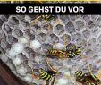 Wespennest Im Garten Luxus Die 7 Besten Bilder Von Wespen Vertreiben