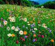 Wildblumen Im Garten Einzigartig Blumenwiese 500 G
