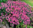 Wildblumen Im Garten Frisch Kissen aster Rosa