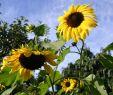 Wildblumen Im Garten Luxus sonnenblumen