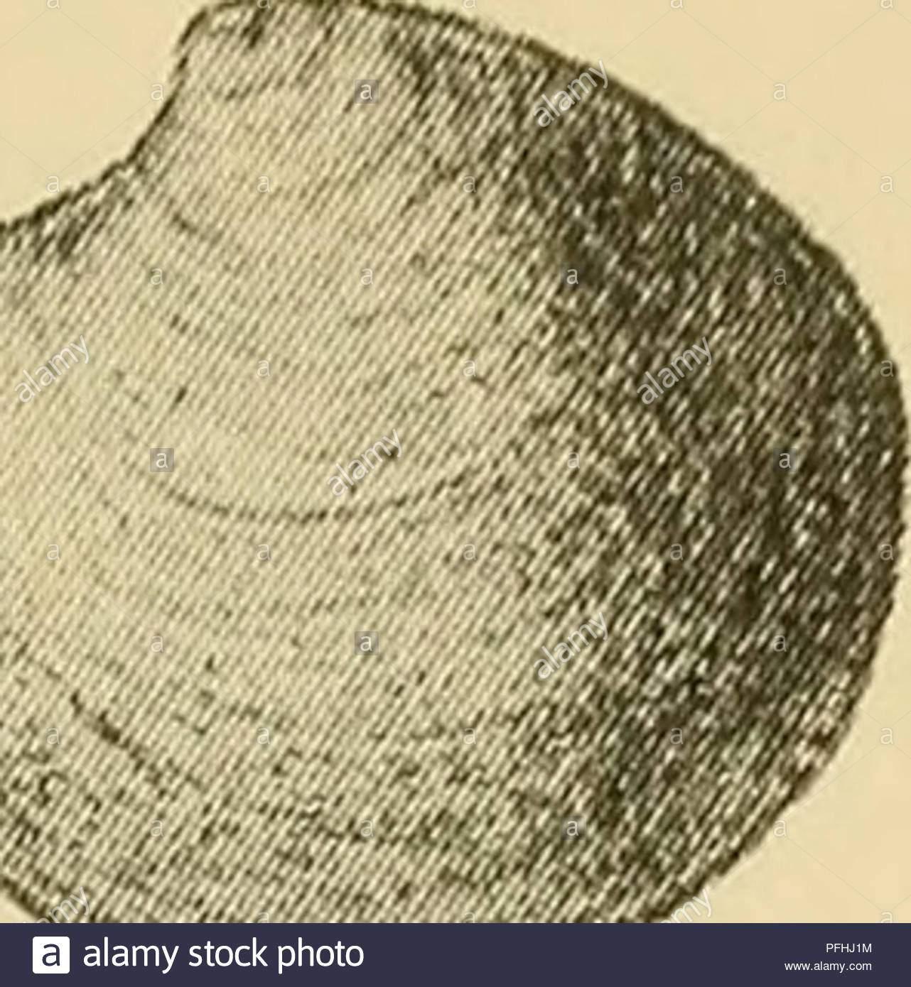 danmarks fauna illustrerede haandbger uber den danske dyreverden 89 f1 axinopsis orbiculta go sars skallen kredsformet med ret tydelige midtstillede umboner ryg randen konkav foran umbonerne farven hvid skulpturen bestaar ich fein koncen triske striber en hver kardinaltand ich seite baandet indvendigt laengde omkr 5 mm fra thyasira arterne kan denne lille musling kendes dels paa den blossen ud praegede kredsform dels fordi den mang abb 69 axinop ler folderne paa skallens orbiculta bagsidesis i nutiden har denne kunst en circum set fra v x 3 polar udbredelse ich alle pfhj1m