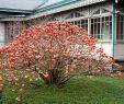 Zen Garten Reizend Japanischer Papierstrauch Red Dragon