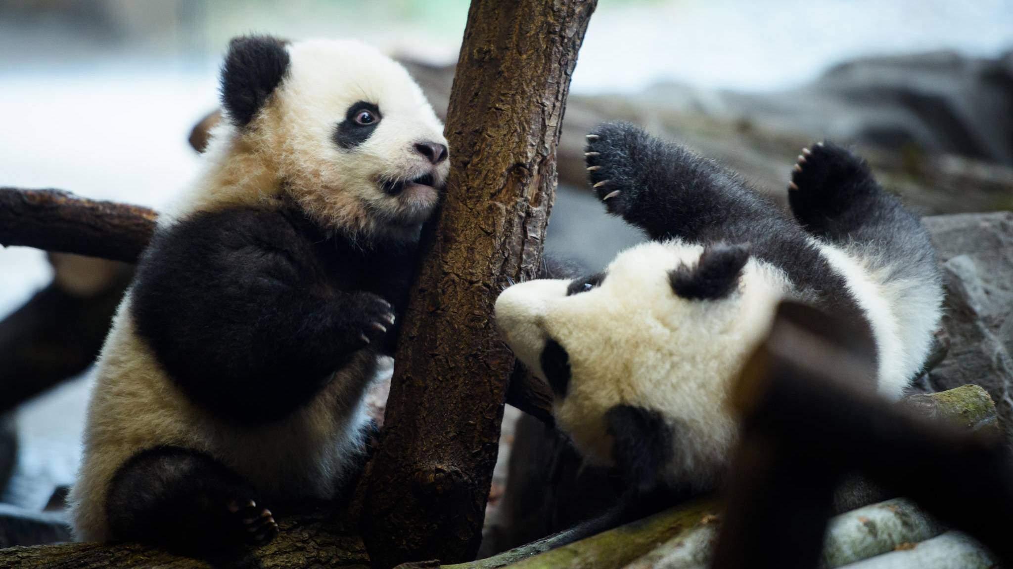 panda zwillinge